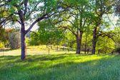 春の時間のオークの木 — ストック写真