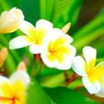 White plumeria (frangipani) — Stock Photo