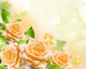 Flowers rose — Stock Photo