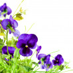 Постер, плакат: Flowers violet