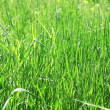 Fresh grass — Photo