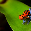 ������, ������: Red poison frog