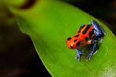 Red poison frog — Stock Photo