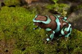 Golden poison dart frog — Stock Photo