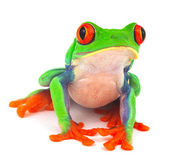 Red eye treefrog — Stockfoto