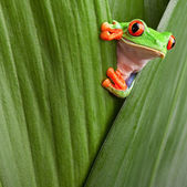 Red eyed tree frog — Stockfoto