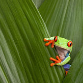 Red eyed tree frog — 图库照片