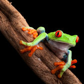 Red eyed tree frog — Stock Photo
