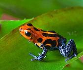 Kırmızı zehirli ok kurbağası — Stok fotoğraf