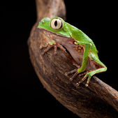 Tree frog with big eyes — Stock Photo