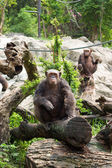 The chimpanzee on a rock at the zoo — Stock Photo