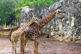 The giraffe is walking in the zoo — Stock Photo