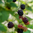 Blackberries on a branch — ストック写真
