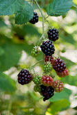 Blackberries on a branch — Stock Photo