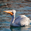 The male of a curly pelican in a quiet reservoir on a decline — Stock Photo