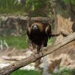 Tawny Eagle — Stock Photo