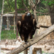 Tawny Eagle — Stock Photo #10242044