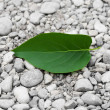 Green leaf from a tree on the rocks — Stock Photo