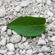 Green leaf from a tree on the rocks — Stock Photo #10243319