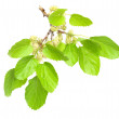 Mulberry isolated on white background — Stock Photo #10243386