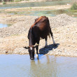 Cow drinks water from a river - Stock Photo