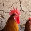 Rooster and hen on the background of a clay wall — Stock Photo