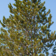 Pine against sky — Stock Photo #10247436