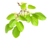 Mulberry isolated on white background — Stock Photo