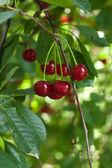 Fresh cherries on the tree — Stock Photo