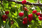 Red cherries on the tree — Stock Photo