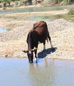 Cow drinks water from a river — Foto Stock