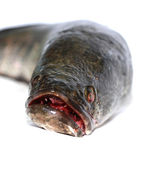 Snakehead is a ferocious fish isolated on white — Stock Photo