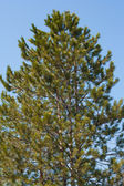Pine against the sky — Stock Photo