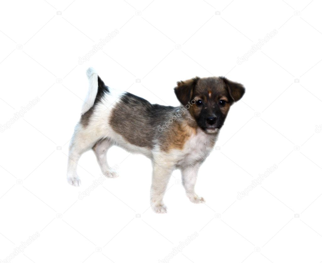 Puppy on white — Stock Photo #10246703