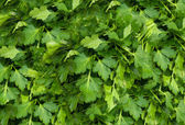 Bunch of Fresh green parsley i.background — Стоковое фото