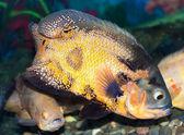 Flekatá větší ostenec plave v akváriu — Stock fotografie