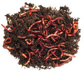 Red worms in compost - bait for fishing — Stock Photo