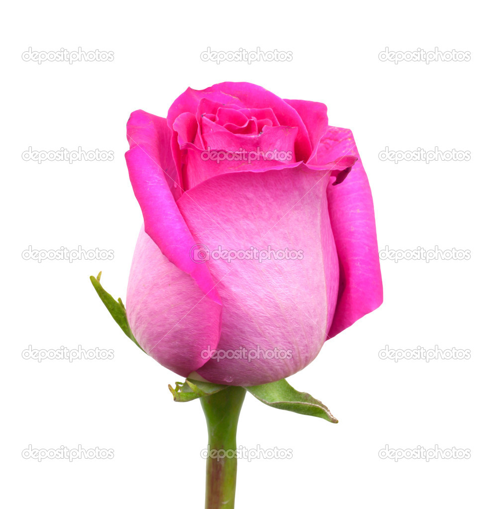 Pink rose on a white background — Stock Photo #8310048