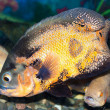 Spotty greater triggerfish floats in an aquarium — Stock Photo