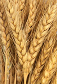 Wheat as background — Stock Photo