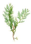 Boże narodzenie zielony ramy na białym tle — Zdjęcie stockowe