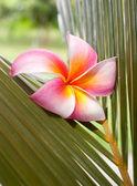 Plumeria květina na kokosový list — Stock fotografie