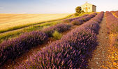 Chapel with lavender and grain fields, Plateau de Valensole, Pro — Stock Photo