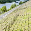 Stock Photo: Vineyar near Mulheim, Moselle Valley, Rhineland-Palatinate, Germ
