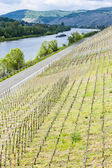 Vineyar near Mulheim, Moselle Valley, Rhineland-Palatinate, Germ — Stock Photo