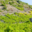 Vineyars in Languedoc-Roussillon — Stock Photo