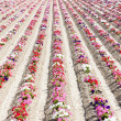 Flower field — Stock Photo #8743569