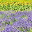 Lavender and sunflower fields, Provence, France — ストック写真