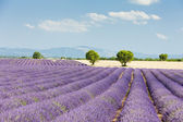 Lavender field, Plateau de Valensole, Provence, France — Stock Photo