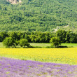 Lavender and sunflower fields, Provence, France — Stock Photo